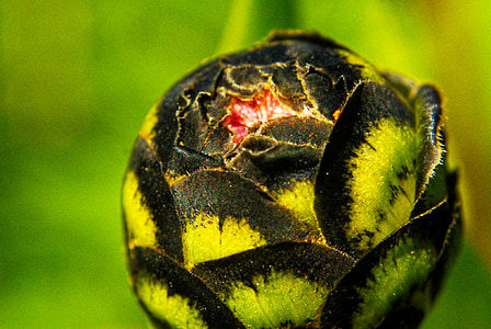 bud, Zelená, čierna, kvet, makro, jar, kvitnúce