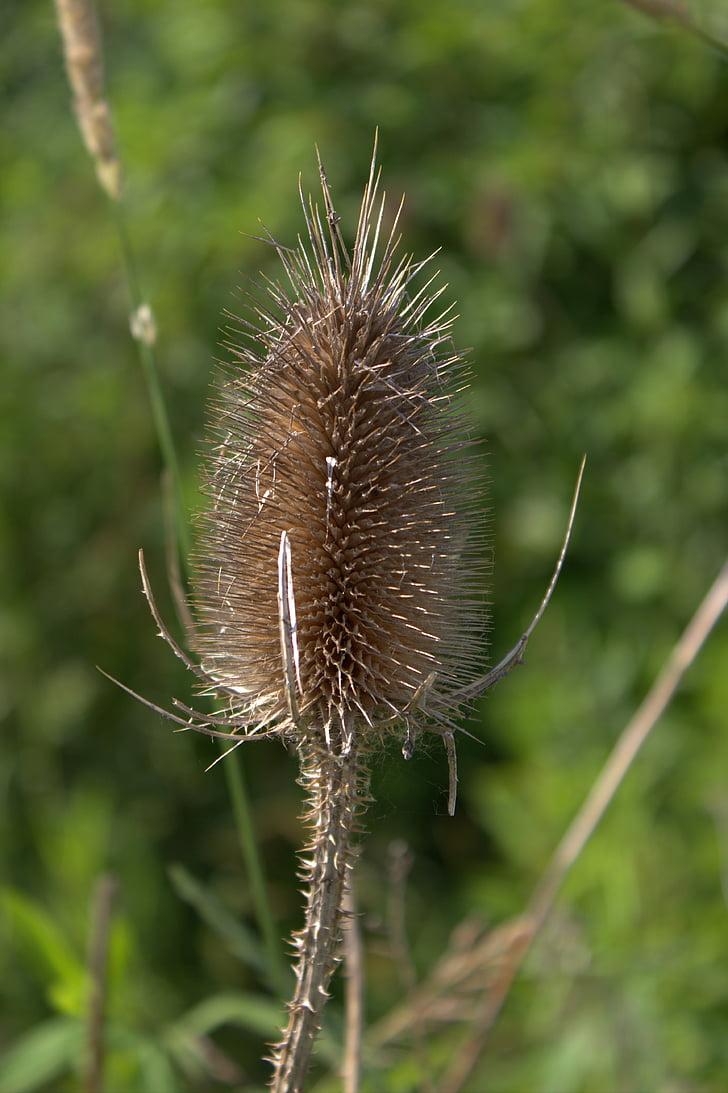Distel, plant, Wild flower, zomer