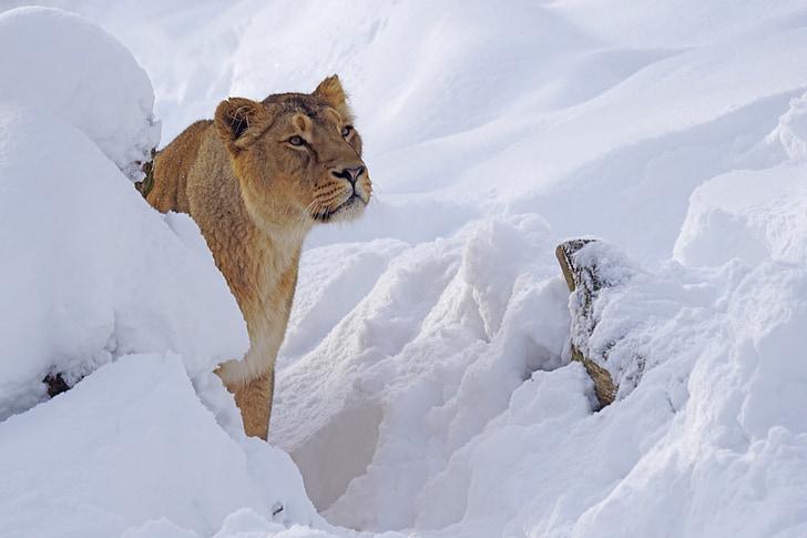 зоопарк, Лев жінок, Хижак