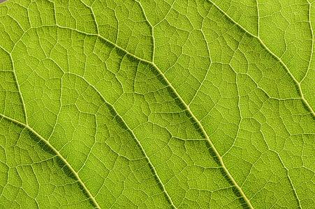Zelená, Leaf, štruktúra, Príroda, rastlín, žily