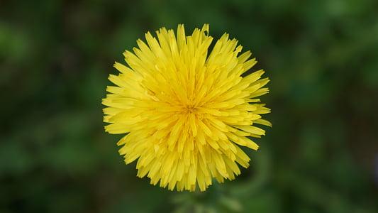 Regrat, navadni regrat, rumeni cvet, plevela
