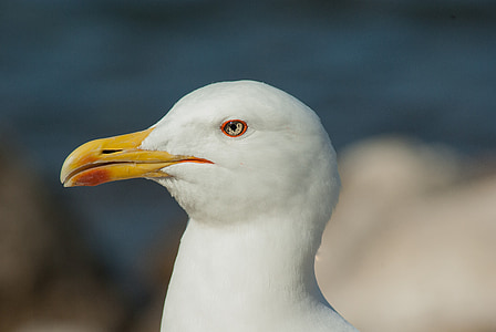 seagull, beak, sea bird