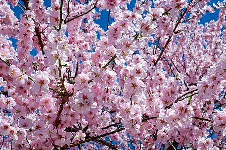 japanese cherry trees, flowers, pink, tree, flower tree, spring, japanese flowering cherry