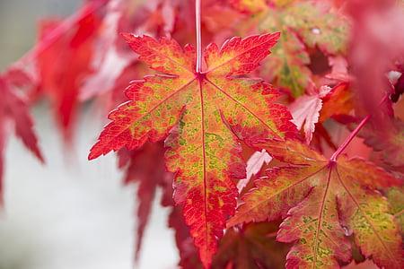 fullatge, fulla d'auró, auró del Japó, fulles de tardor, natura, fulla vermella, jardí