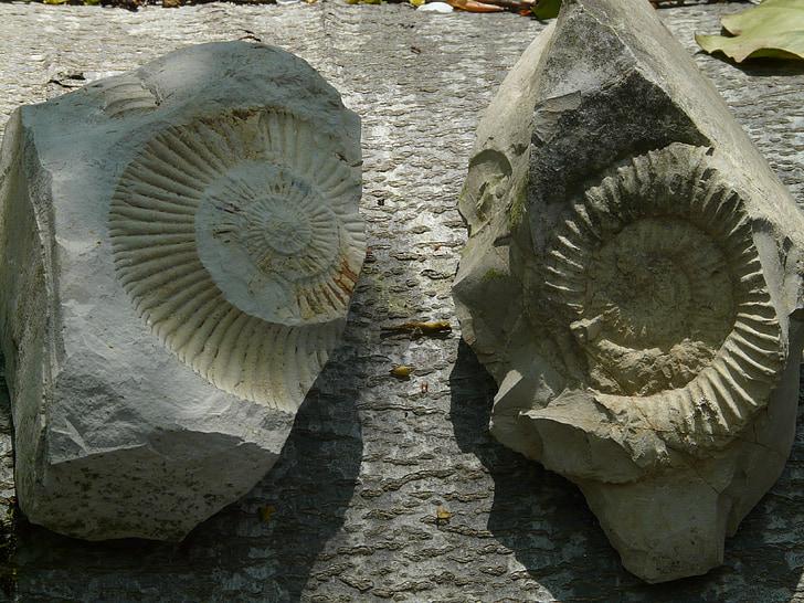 fòssils, ammonites, pedres, Ammonit, cefalòpodes, van ser, mol·lusc