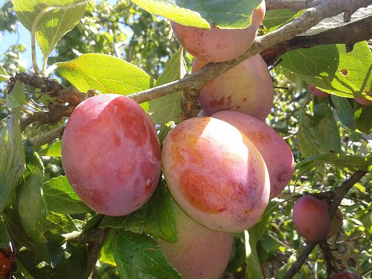 šťavnaté slivky, ovocie, šťavnaté, jedlo, slivka, zdravé, čerstvé