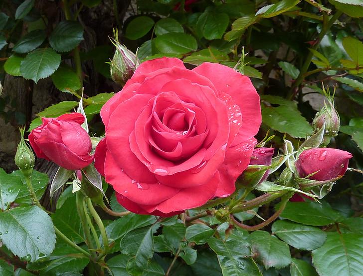 Roses, Rosa, flor rosa