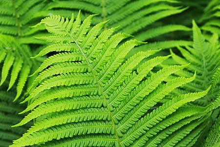 Falguera, planta, verd, fulla, natura, tancar, fulla verda