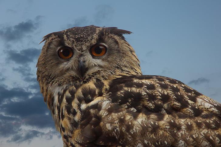 lintu, Pöllö, luonnonvaraisten lintujen, pitkä Sarvipöllö pöllö, silmät, Huuhkaja, piirustus