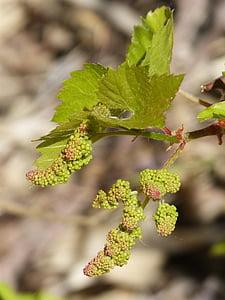 cây nho, bùng nổ, nảy mầm, mùa xuân, Bud, vườn nho, Thiên nhiên