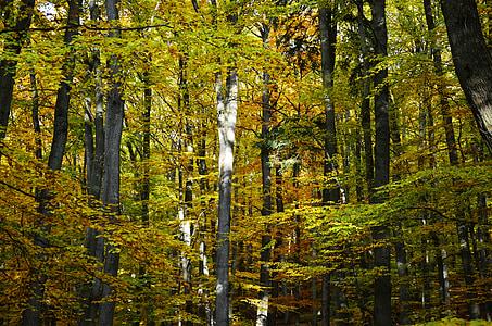 το φθινόπωρο, Φθινοπωρινό δάσος, φυλλοβόλα δέντρα, δάσος, δέντρα, φύλλωμα πτώσης, Χρυσή φθινόπωρο