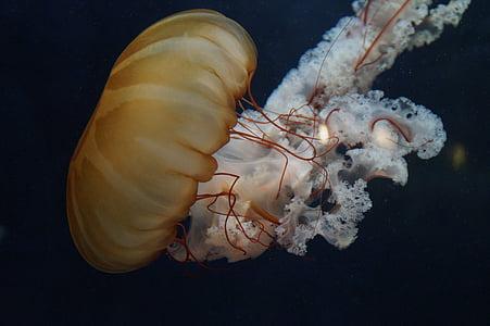 ubur-ubur, moluska, neon, fluoresce, akuarium, air, perairan hewan