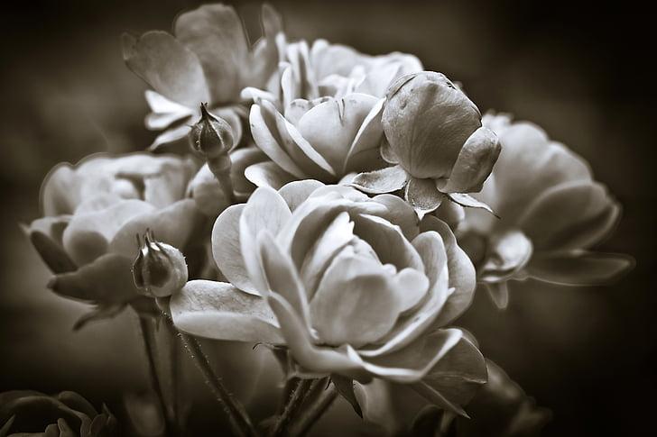 Roses, flor, flor, flor, camí de les roses, natura, blanc