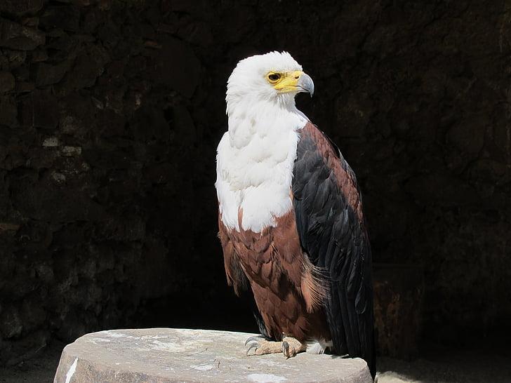 плешив орел, Американски орел, орел, птица, фауна, животните