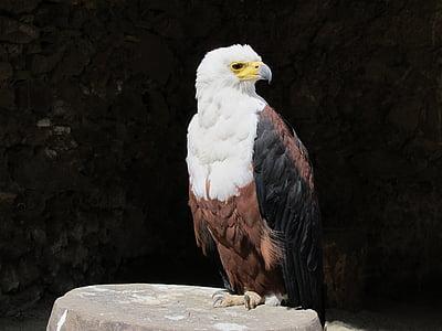Orel bělohlavý, American eagle, Orel, pták, Fauna, zvíře