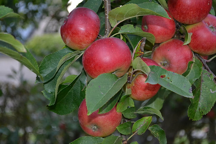 fruit, fruits, apples, healthy, fruit tree, autumn, autumn fruit