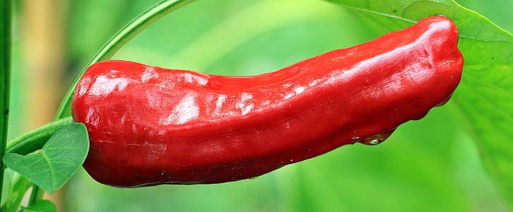 pepperoni, paprika, nachtschattengewächs, punane pipar, punane, chili, köögiviljad