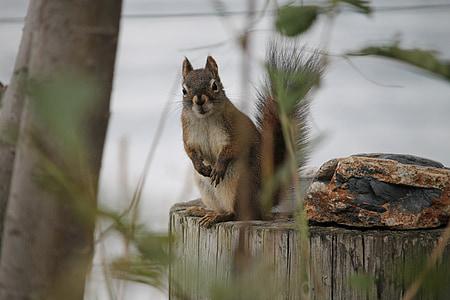 natura, esquirol, esquirol, animal, vida silvestre, valent, l'aire lliure