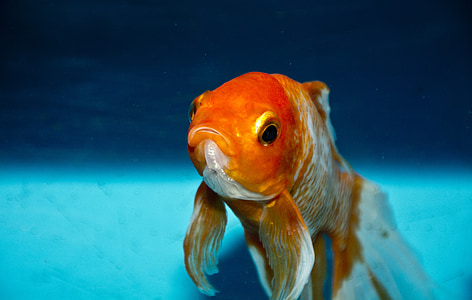gold, fish, nature, water, animal, orange, goldfish