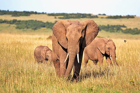 animals, elefant, elefants, Kenya, ullals, animal salvatge, animals en estat salvatge