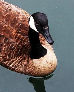 гъска, канадски, канадска гъска, плуване, животните, птица, пера