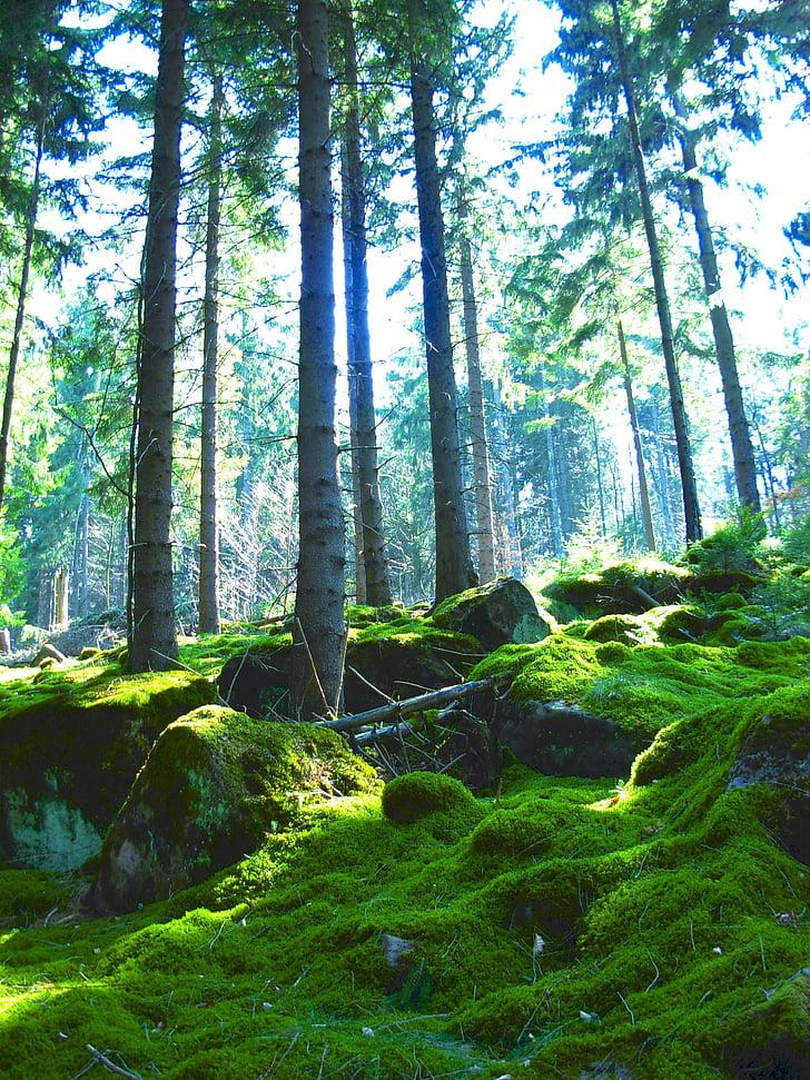 bosc, molsa, natura, coníferes, boscos de coníferes