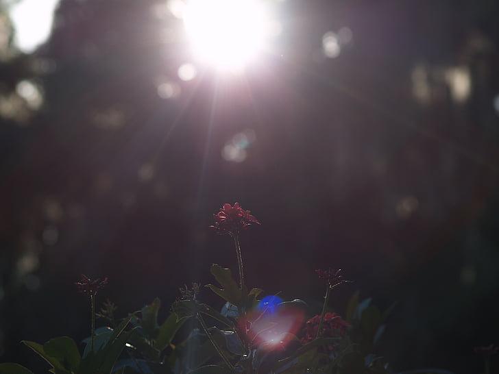 blomster, røde blomster, solskinn, natt, opplyst, kunst kultur og underholdning, utendørs