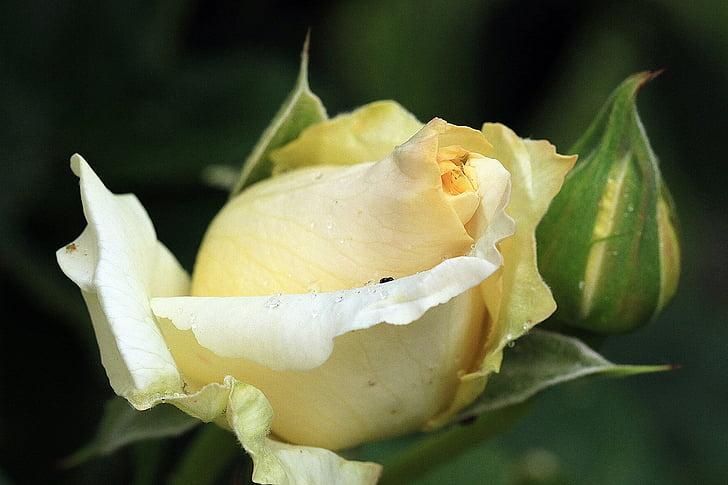 Cveće - Page 21 Rose-yellow-rose-rosebud-rose-tea-preview