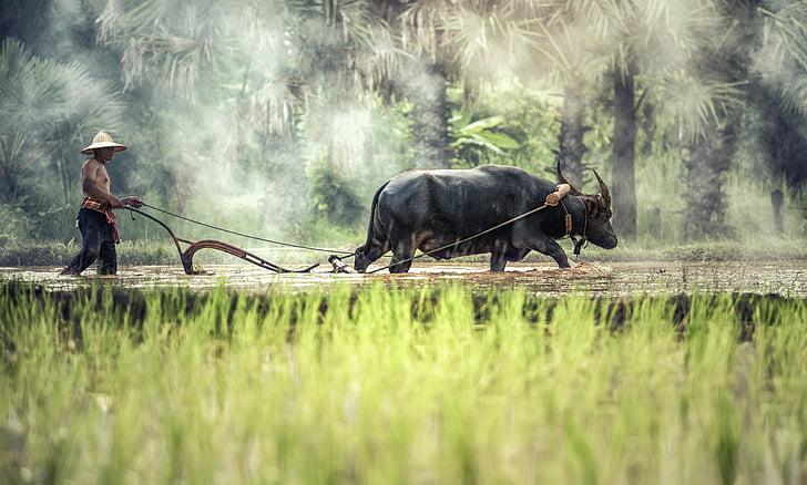 Буффало, Фермер, Выращивание, Сельское хозяйство, Азия, Камбоджа, Культура