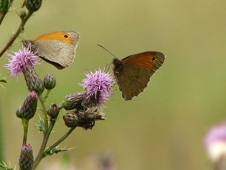 tauriņš, dadzis, puķe, kukainis, spārnu, aizveriet, zonde