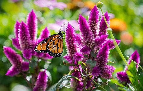 лято, цветя, пеперуда, макрос, природата, насекоми, пеперуда - насекоми