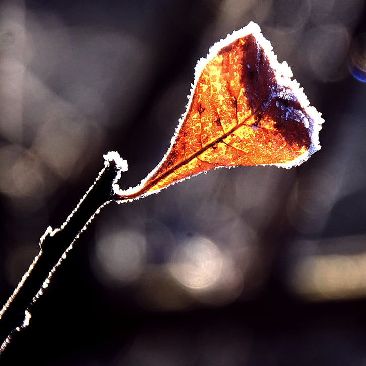 leaf, frost, back light, brown, rusty red, winter, autumn