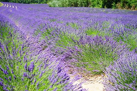 καλλιέργεια λεβάντας, Λεβάντα, Λεβάντα πεδίο, άνθη λεβάντας, μπλε, λουλούδια, μωβ