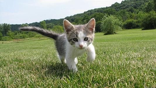 子猫, かわいい, ネコ科の動物, キティ, 国内, 毛皮, 小さな