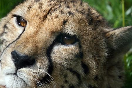 cheetah, wild cat, portrait, wildlife, africa, mammal, big cat
