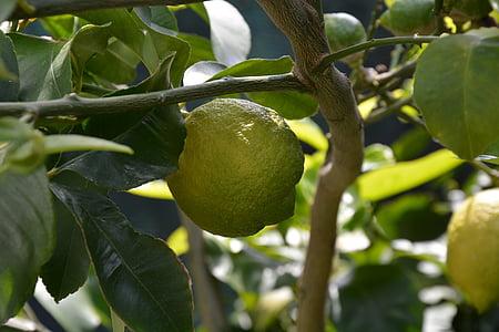limun, limun biljka, lišće, agrumi, agrumi, voće, hrana