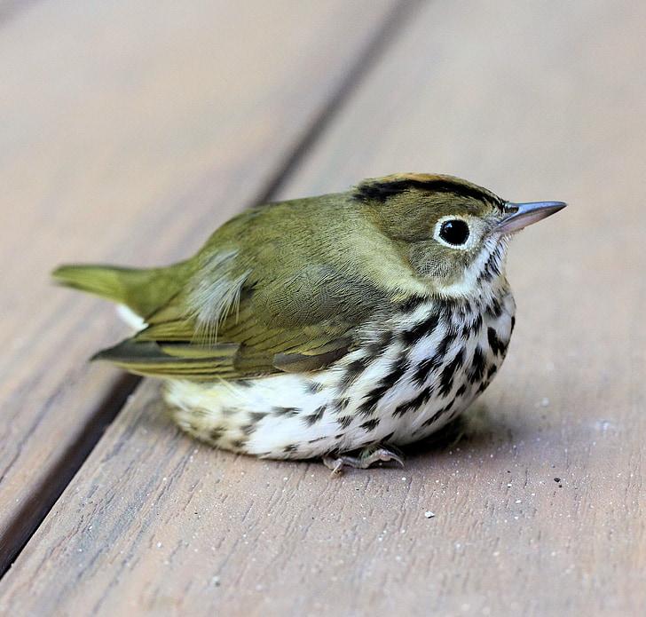ptica, ovenbird, smuđ, pjegavi, zelena