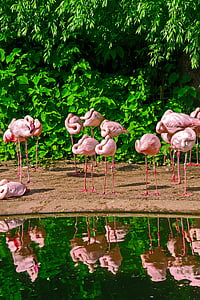 Фламинго, клюн, розово, птица, вода, река, езеро