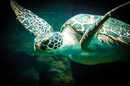 morske želve, morje, živali, stari, vode, Ocean, živalski vrt