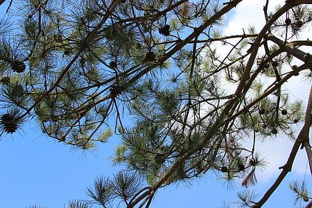pine tree, echinacea, blue sky, white cloud, trees, spring, full of life