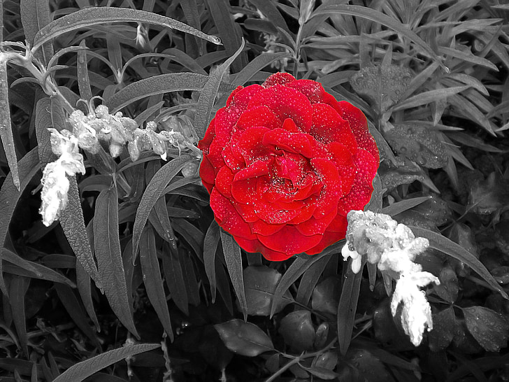 Rosa, anyada, verema flors, vermell, planta