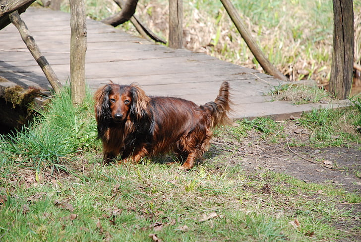 dachshund, dog, friends, animal, pets, outdoors, brown