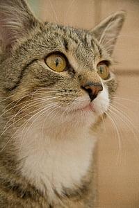cat, domestic cat, portrait