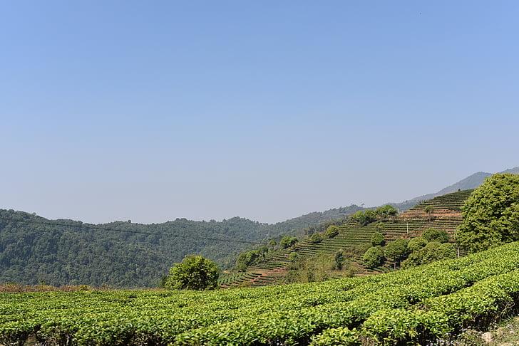 Yunnan tea garden, xishuangbanna, capítol de classe