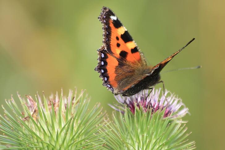 motýľ, Príroda, Zelená, hmyzu