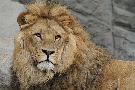 lion, lion's mane, cat, big cat, safari, wildcat, lion - Feline