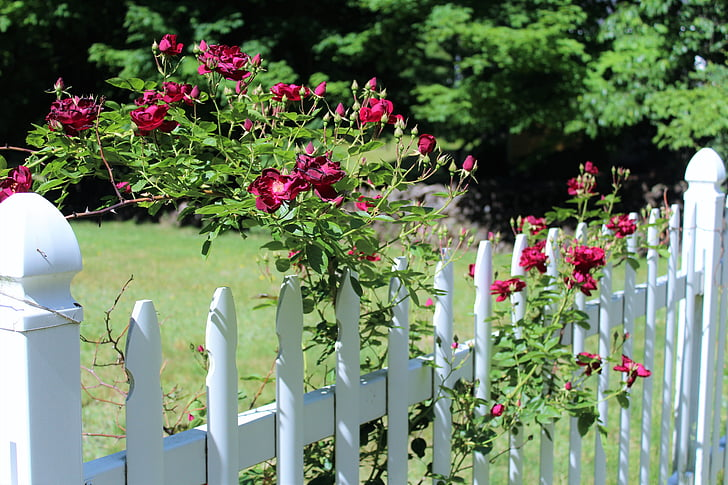 red roses, scent of roses, white fence, fence, flower, outdoors, picket Fence