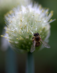 bee, flight, flower, macro, insecta, insect, nature