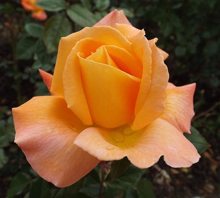 Rosa, flor, flor, flor rosa, flor, floribunda, flors roses