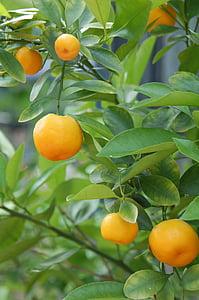 mandarines, oranges, agrumes, Bush, arbre Citrus, agrumes, fruits